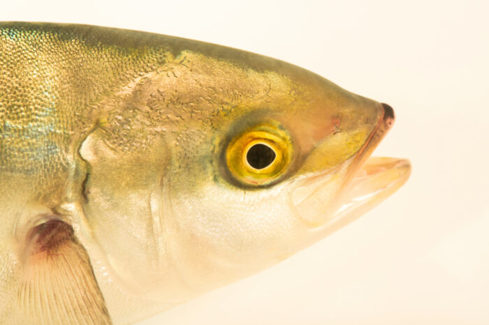 Photo: A 126-day-old yellowtail jack (Seriola dorsalis) cultured by Hubbs-SeaWorld Research Institute and photographed at SeaWorld San Diego.