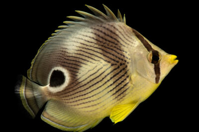 Photo: A four-eyed butterfly fish (Chaetodon capistratus) the Denver Zoo.