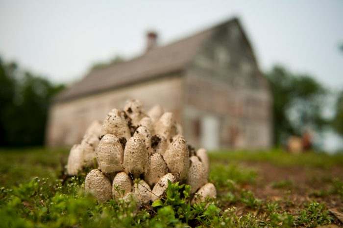 Photo: A troop of mushrooms nestles on a farm near Walton, NE