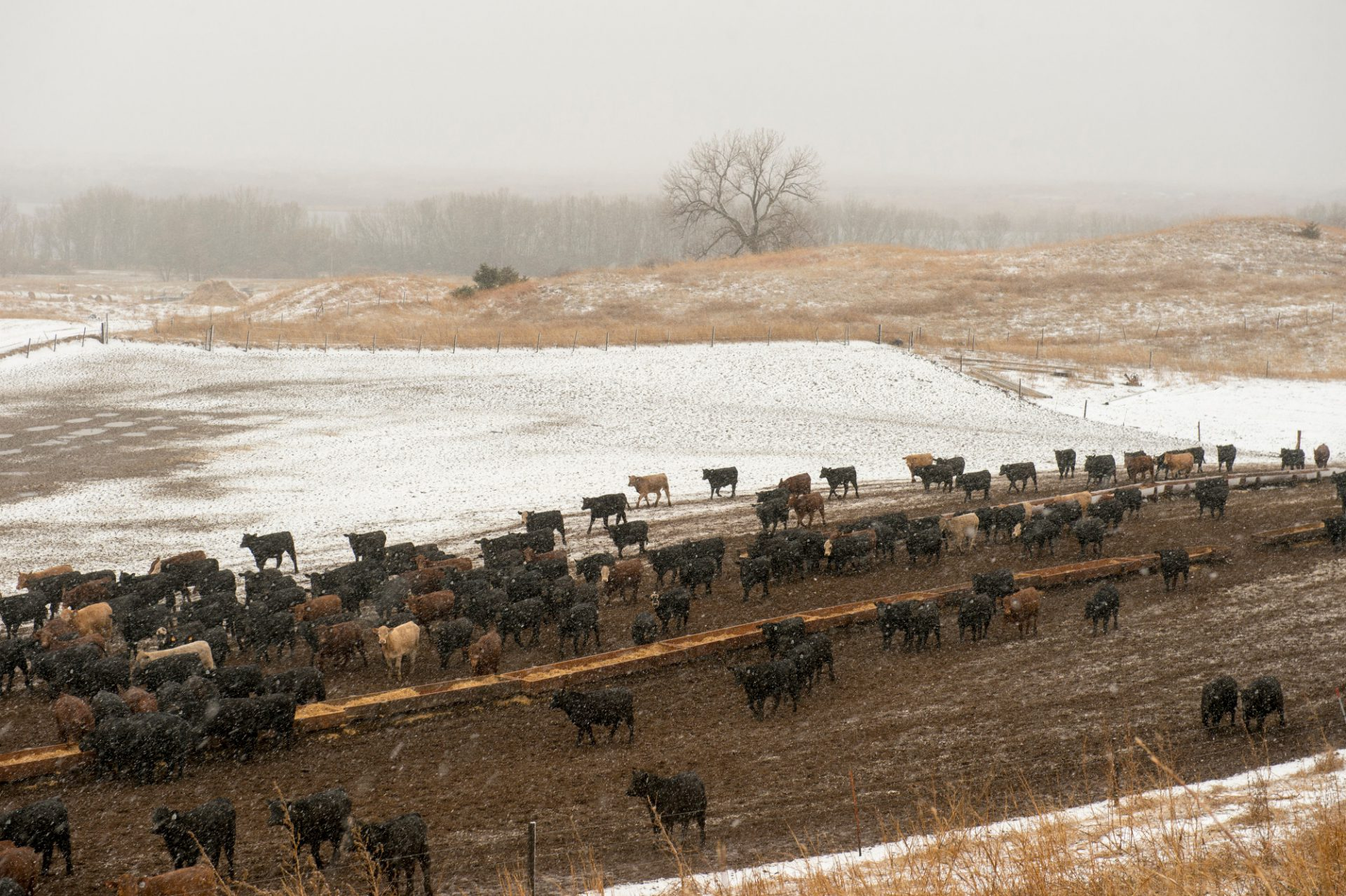 Photo: Cattle in a snowstorm.