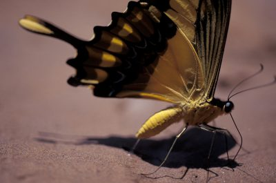 Photo: A swallowtail butterfly in Madidi National Park, Bolivia.