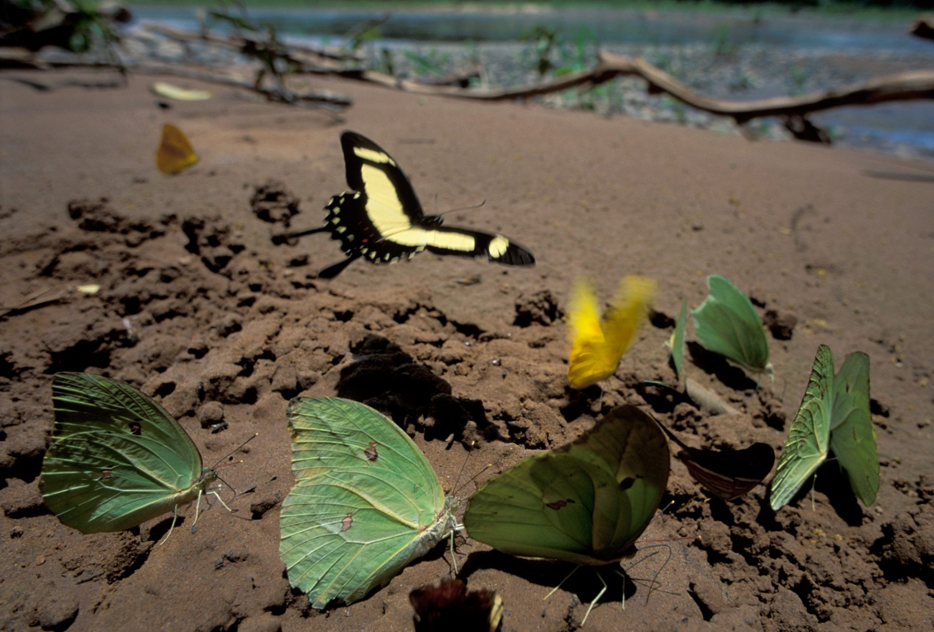 Photo: Pierid butterflies and a Swallowtail Butterfly drawn into the salt and minerals on a beach along the Tuichi River in Madidi National Park, Bolivia.