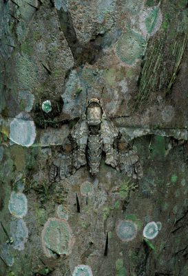 Photo: A moth blends in perfectly with the bark of a tree in the rainforests of Bolivia's Madidi National Park.