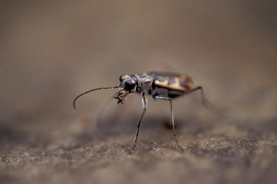Photo: The Salt Creek tiger beetle is found only in northern Lancaster County, NE, and is down to less than a thousand individuals in the wild.