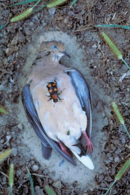 Photo: An endangered American burying beetle crawls over a dead mourning dove.