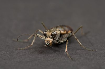 A federally endangered Salt Creek Tiger Beetle (Cicindela nevadica lincolniana). Shot at UNL's East Campus.