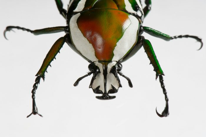 A derbyana flower beetle (Dicronorrhina derbyana) at the St. Louis Zoo.
