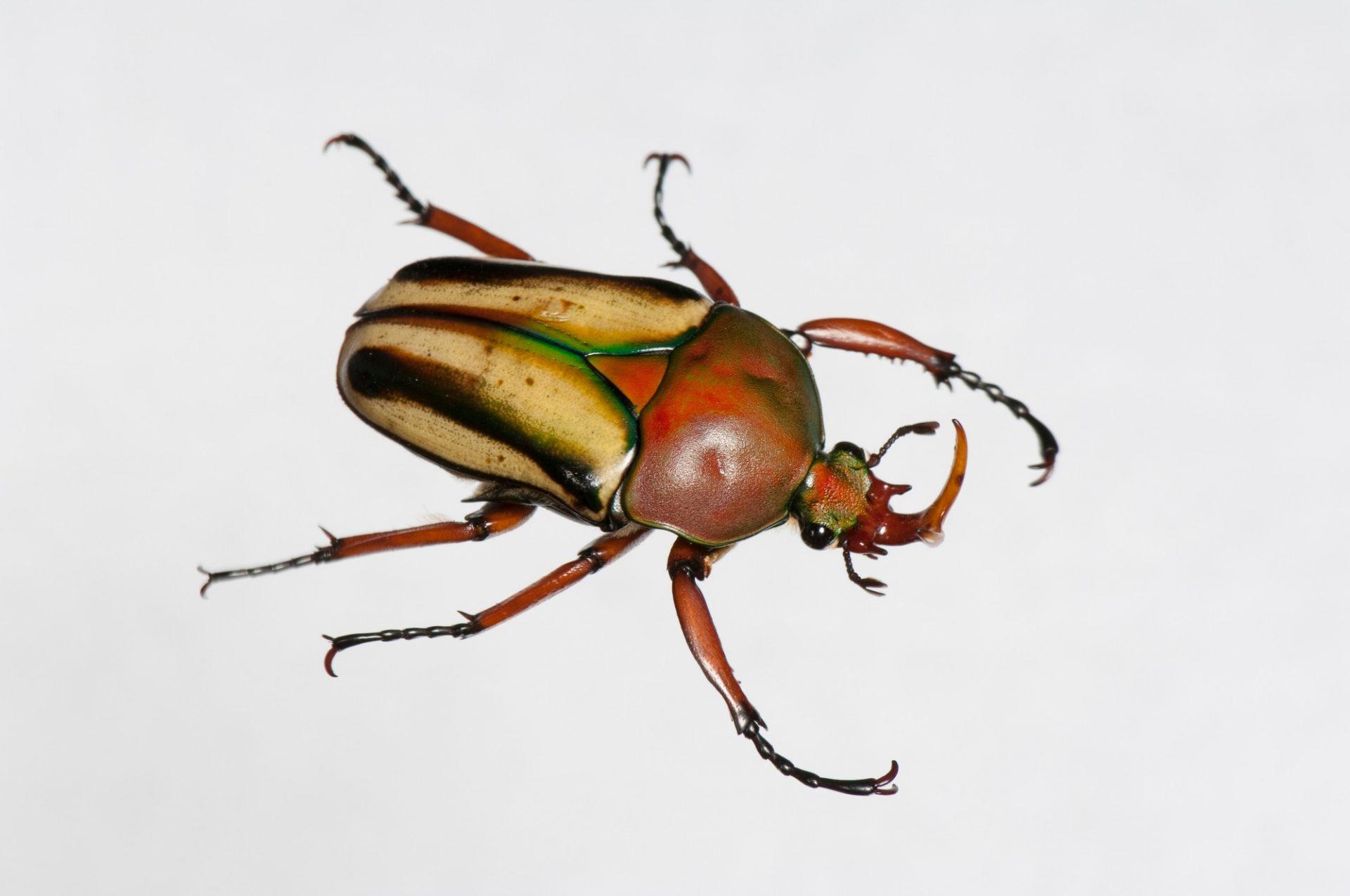 Flamboyant flower beetle (Eudicella gralli) at the St. Louis Zoo.