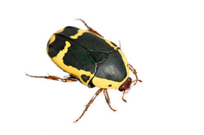 An African jewel beetle (Pachnoda flaviventris) at the St. Louis Zoo.