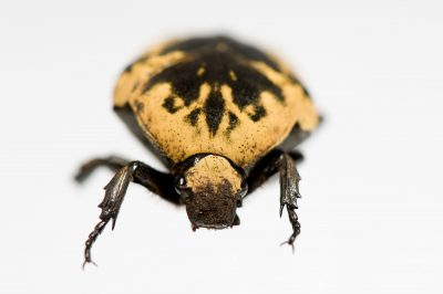 An Arizona jewel beetle (Gymetis flavomarginata) at the St. Louis Zoo.