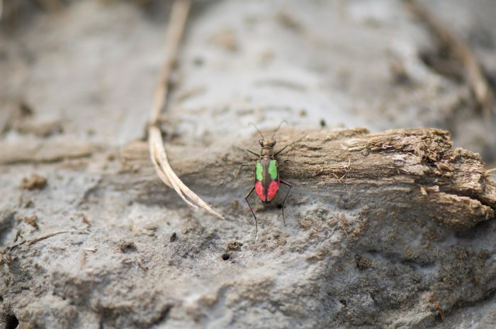 Photo: Marked with paint for study, a Salt Creek tiger beetle hunts along Little Salt Creek in Lincoln, NE. This is one of the rarest insects in the world, with 205 adults emerging in 2010.