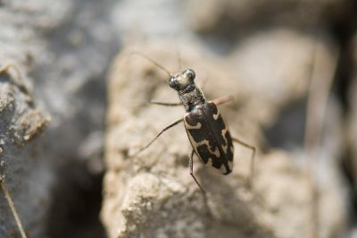 Photo: A Salt Creek tiger beetle hunts along Little Salt Creek in Lincoln, NE. This is one of the rarest insects in the world, with 205 adults emerging in 2010.