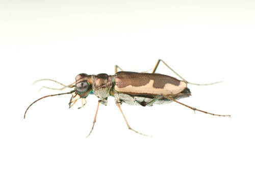 Photo: Cream-edged tiger beetle (Cicindela circumpicta) in a lab at the University of Nebraska-Lincoln.
