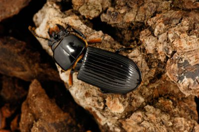 Bess beetles, also known as patent leather beetles (Odontotaenius disjunctus) at the University of Nebraska's entomology lab.