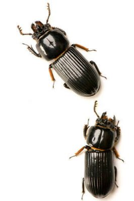 Bess beetles, also known as patent leather beetles (Odontotaenius disjunctus) at the University of Nebraska's entomology lab.