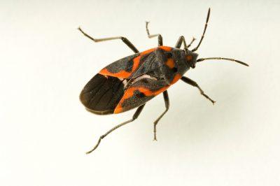 A small milkweed bug (Lygaeus kalmii).