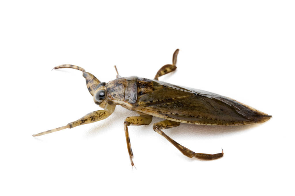 A giant water bug (Lethocerus americanus).