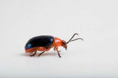 A shining flea beetle (Asphaera lustrans).
