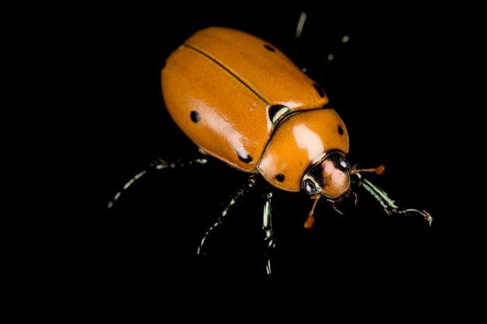 A spotted june beetle (Pelidnota punctata).