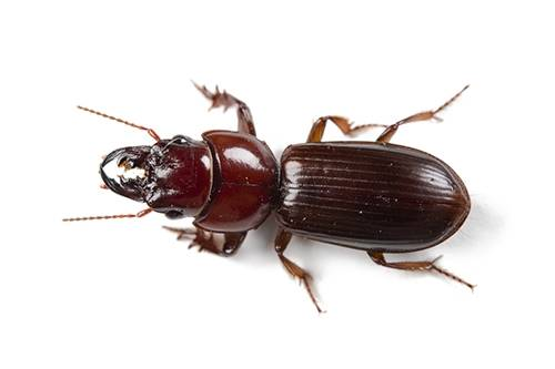 A ground beetle (Scarites quadriceps).
