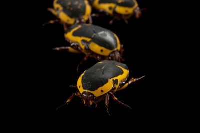 Brown-and-yellow flower beetles (Pachnoda sinuata flaviventris) at the Omaha Henry Doorly Zoo.