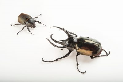 A male Atlas beetle (Chalcosoma atlas) and a female (smaller, hornless) at the Omaha Henry Doorly Zoo. This type of beetle is able to lift 850 times its own body weight making it the strongest animal on earth compared to its body weight.