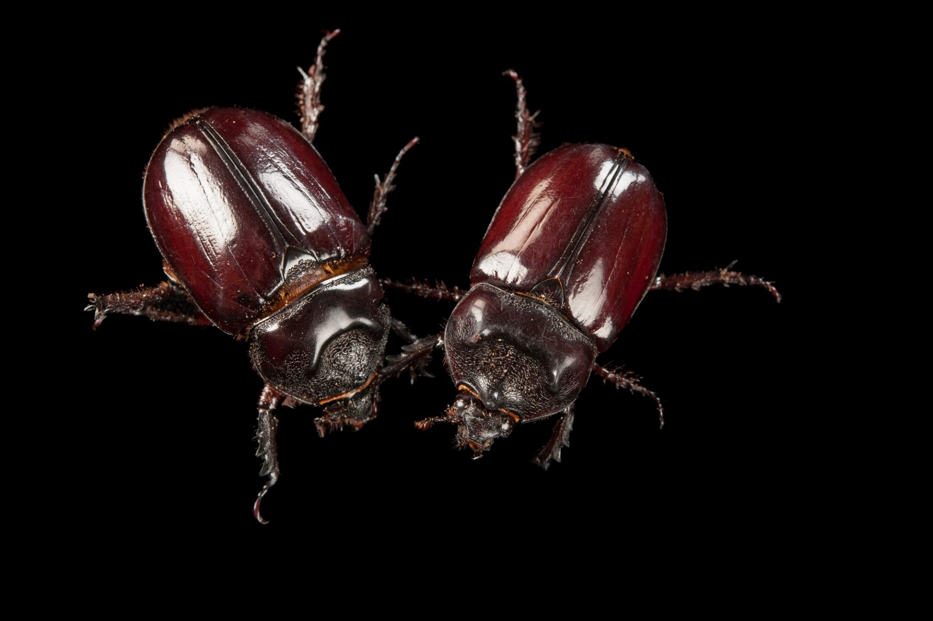 A pair of ox beetles (Strategus aloeus) at the Audubon Zoo in New Orleans.