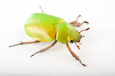 Photo: A jewel beetle (Chrysina beyeri) at the Audubon Insectarium in New Orleans.