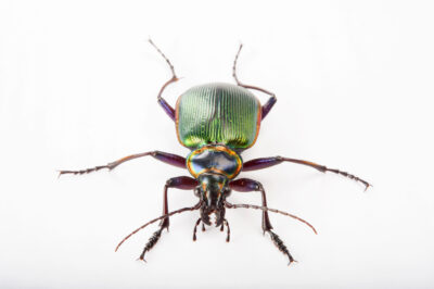 Picture of a fiery searcher beetle (Calosoma scrutator) at the Audubon Insectarium in New Orleans.