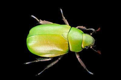 Photo: A jewel beetle (Chrysina beyeri) at the Audubon Insectarium in New Orleans.