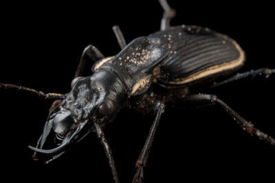 Photo: Two spotted ground beetle (Anthia thoracica) at the Audubon Insectarium in New Orleans.