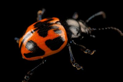 A swamp milkweed leaf beetle (Labidomera clivicollis) at the Audubon Insectarium in New Orleans.