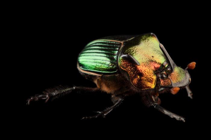 Photo: A rainbow scarab (Phanaeus igneus) at the Audubon Insectarium in New Orleans.