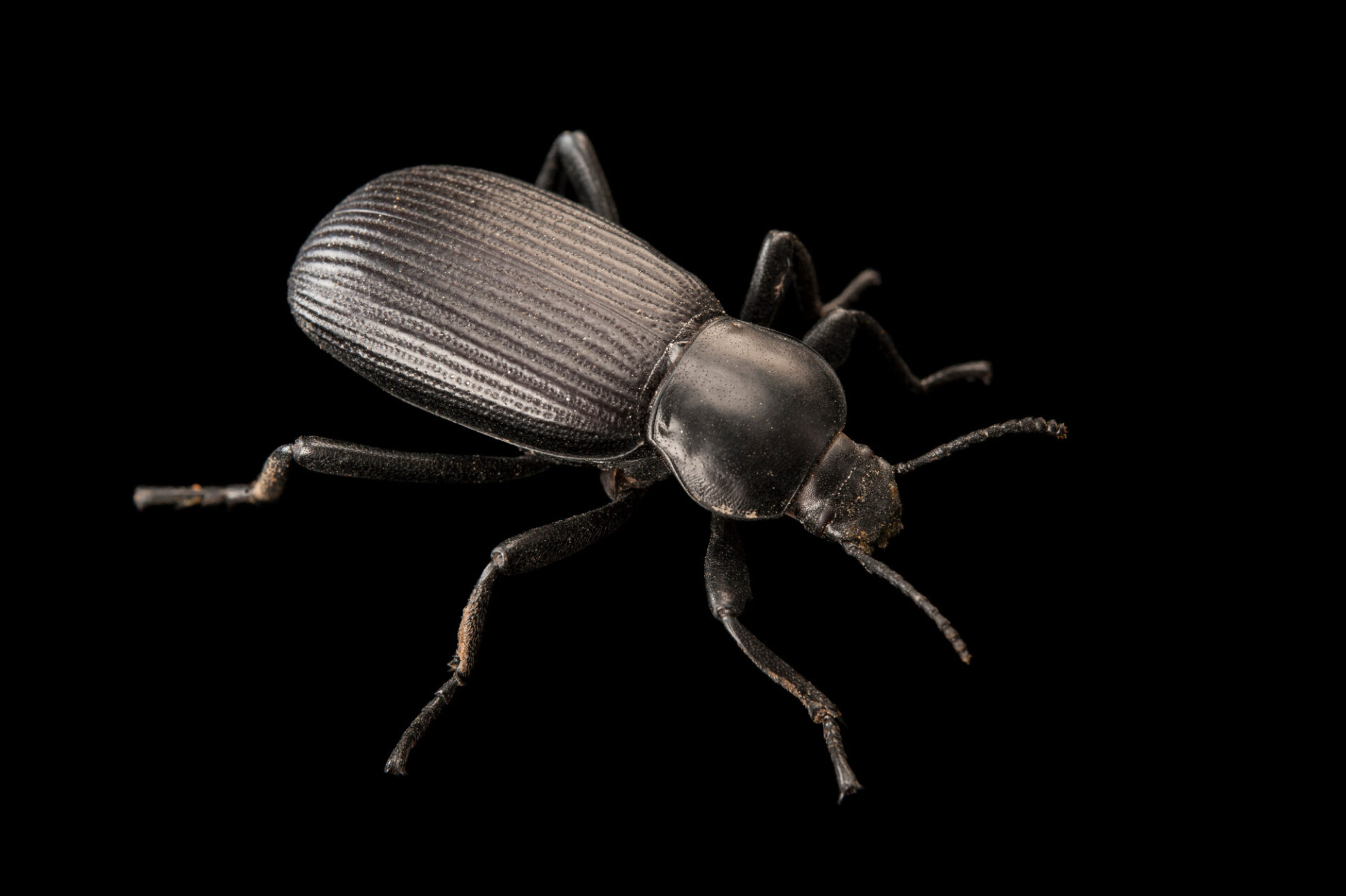 Photo: A darkling beetle (Eleodes sp.) at the Audubon Insectarium in New Orleans.