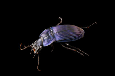 Photo: Notch-mouthed ground beetle (Dicaelus purpuratus) at the Audubon Insectarium in New Orleans.