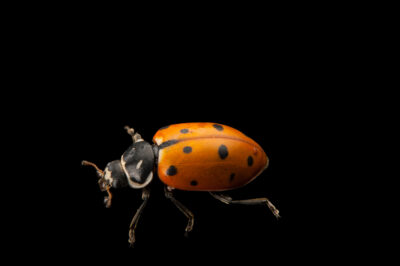 Photo: Convergent lady beetle (Hippodamia convergens) at the Audubon Insectarium in New Orleans.