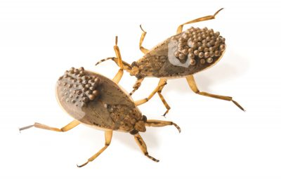 Picture of giant water bugs (Abedus herberti) at the Point Defiance Zoo.