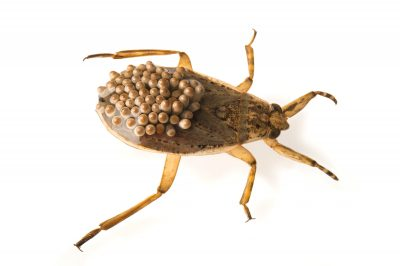 Picture of a giant water bug (Abedus herberti) at the Point Defiance Zoo.