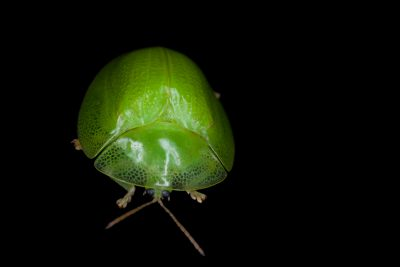 A tortoise beetle (Aspidomorpha citrina) in Gorongosa National Park. These beetles feed on leaves, and their larvae have an interesting habit of camouflaging themselves with their own feces.