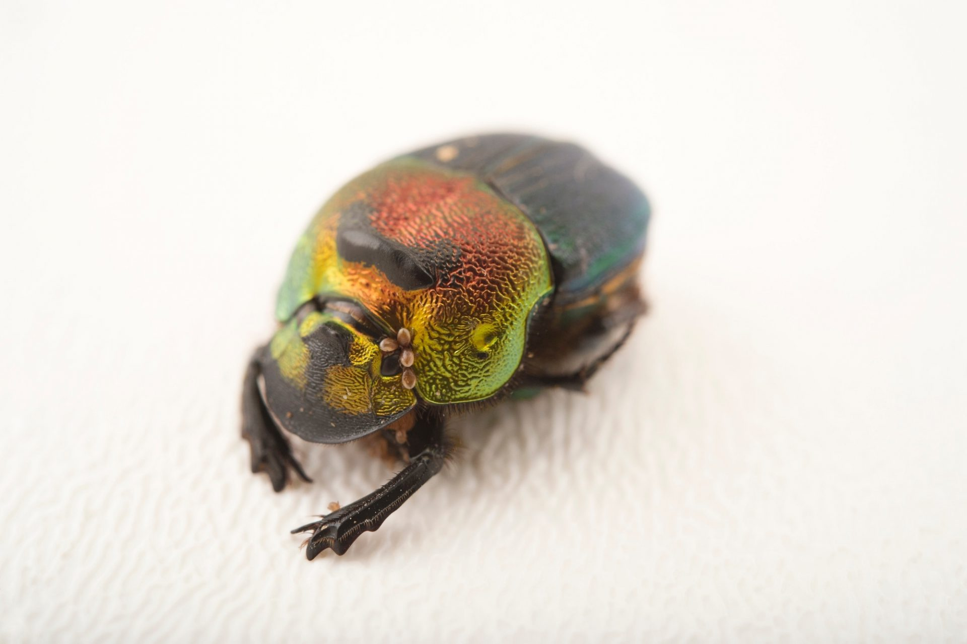 A rainbow scarab (Phanaeus vindex), with parasites riding on its neck, at the Houston Zoo.
