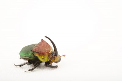A rainbow scarab, Phanaeus vindex, with parasites riding on its neck, at the Houston Zoo.