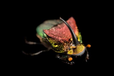 A rainbow scarab (Phanaeus vindex), with parasites riding on its neck, at the Houston Zoo.