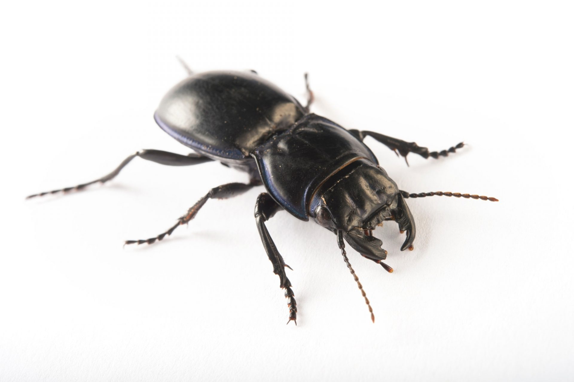 Picture of a blue-margined ground beetle (Pasimachus marginatus) at the Dallas Zoo in Dallas, Texas.