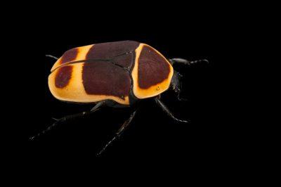 A sun beetle (Pachnoda marginata peregrina) at the Omaha Henry Doorly Zoo, Omaha, Nebraska.