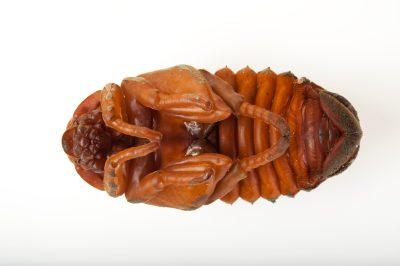 The pupal stage of an atlas beetle (Chalcosoma atlas) at the Omaha Henry Doorly Zoo, Omaha, Nebraska.