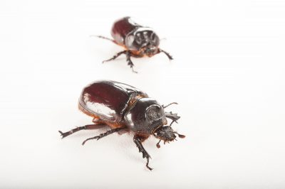 A male and a female ox beetle (Strategus aloeus) at the Audubon Zoo in New Orleans, Louisiana.