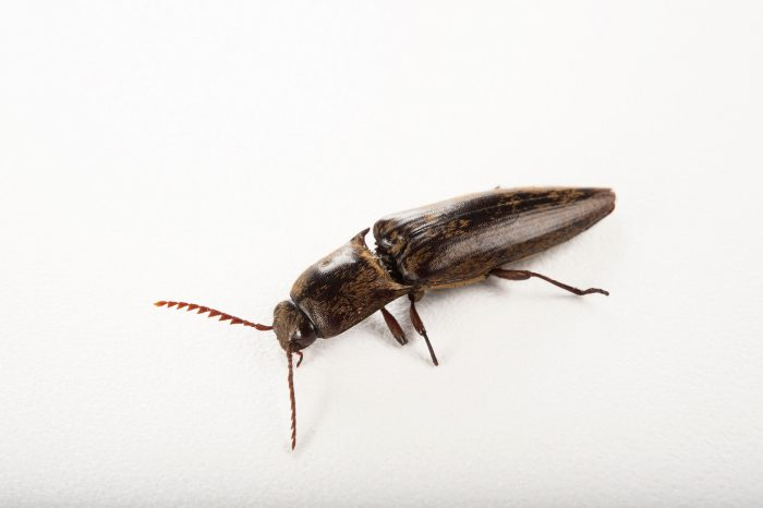 Photo: A click beetle (family Elateridae) at the Audubon Zoo in New Orleans, Louisiana.