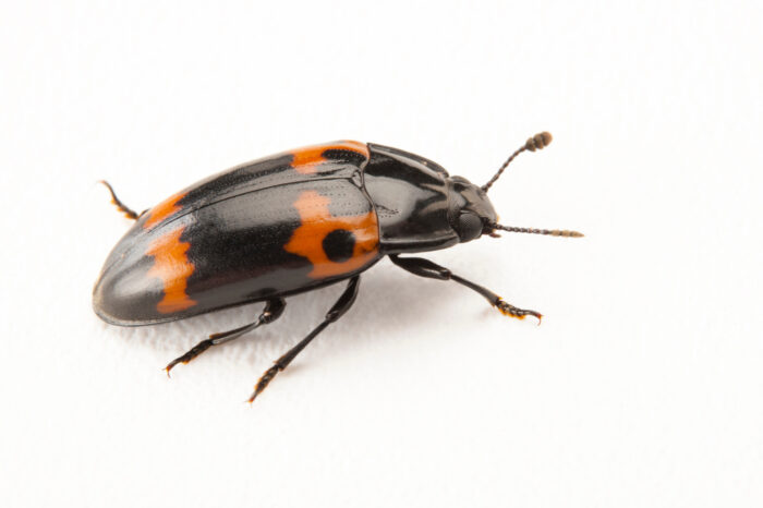 A pleasing fungus beetle (Megalodacne fasciata) at the Insectarium in New Orleans, Louisiana.