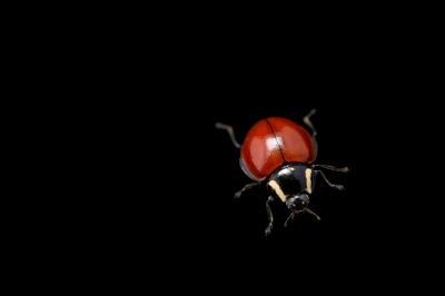 Picture of a no-spotted ladybug (Cycloneda sanguinea) from the wild in Utah.