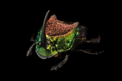 Picture of a rainbow scarab (Phanaeus difformis), a type of North American dung beetle, at the Dallas Zoo.
